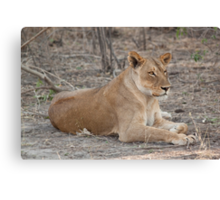 Lioness in winter  Canvas Print