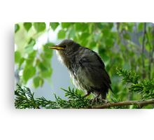 We have Fledged! - Starling - NZ Canvas Print
