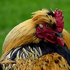Strapping Young Fellow - Cockerel - NZ by AndreaEL