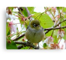 The Branch Manager! - Silvereye - NZ Canvas Print