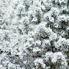 Snow on Fir by jcjimages