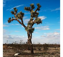 Joshua tree nature photography  Photographic Print
