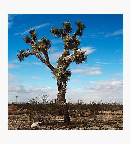 Joshua tree nature photography  Photographic Print