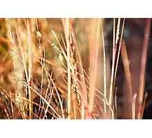 Nature in abstract - dry grass with delicate small blue flower Photographic Print