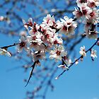 Almond Tree Flowers by Ioanna Athanasopoulou