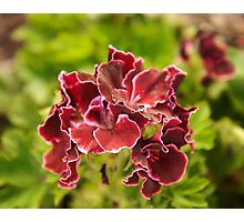Pelargonium botanical photography Photographic Print