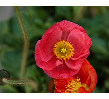Little pink Iceland Poppy flower photography Photographic Print