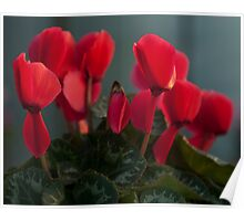 Dark red Cyclamen flower photography Poster