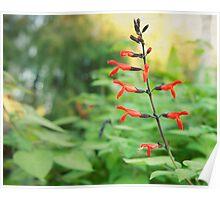 Tree Fuchsia flower photography  Poster