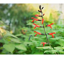 Tree Fuchsia flower photography  Photographic Print