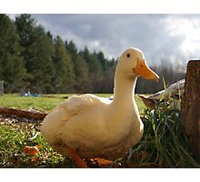 Apple Blossom the Rescue Duck Photographic Print
