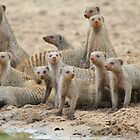 Banded Mongoose - Band of Brothers and Sisters by LivingWild