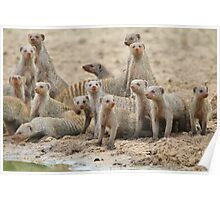 Banded Mongoose - Band of Brothers and Sisters Poster