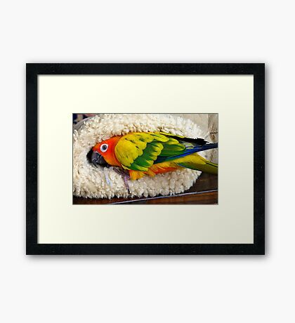 It's Snuggle Buggle Time - Sun Conure - NZ Framed Print