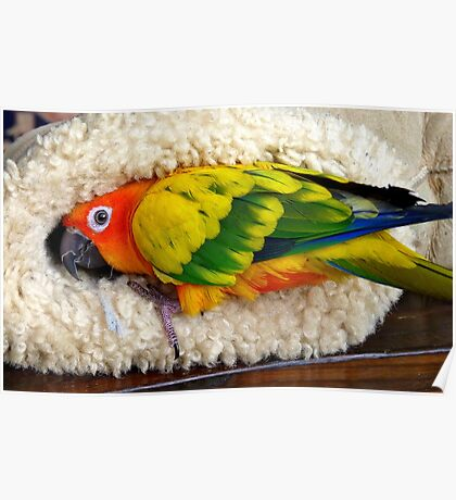 It's Snuggle Buggle Time - Sun Conure - NZ Poster