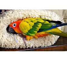 It's Snuggle Buggle Time - Sun Conure - NZ Photographic Print