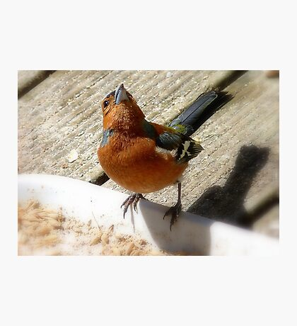 The Sky Is The Limit! - Chaffinch - NZ Photographic Print