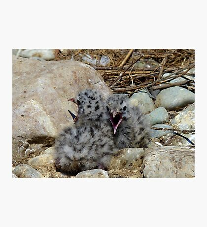 Who Can Yell Louder! - Baby Seagulls - NZ Photographic Print