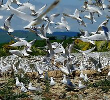 Suspended Animation - Seagull Colony - NZ by AndreaEL