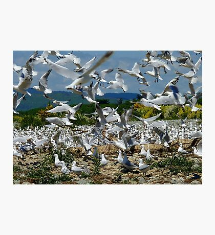 Suspended Animation - Seagull Colony - NZ Photographic Print