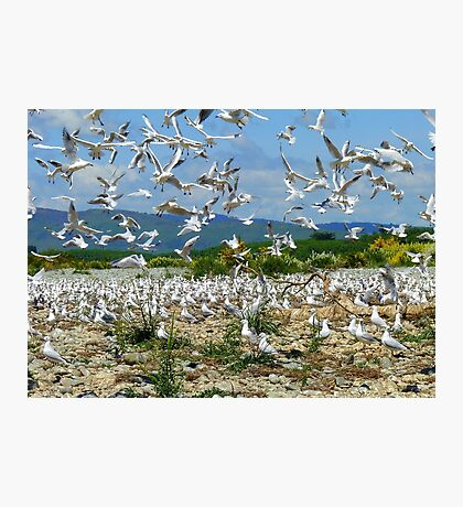 Flying Chaos! - Seagull Colony - NZ Photographic Print