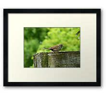 I Sing Because I Have A Song! - Dunnock Sparrow - NZ Framed Print