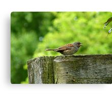 I Sing Because I Have A Song! - Dunnock Sparrow - NZ Canvas Print