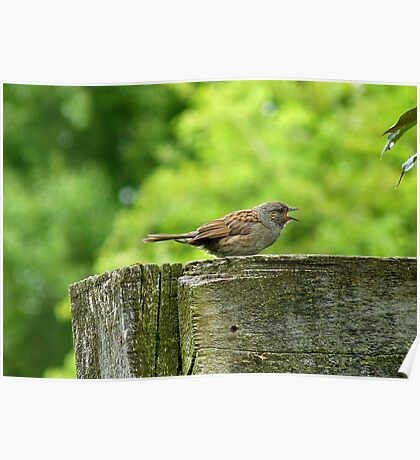 I Sing Because I Have A Song! - Dunnock Sparrow - NZ Poster