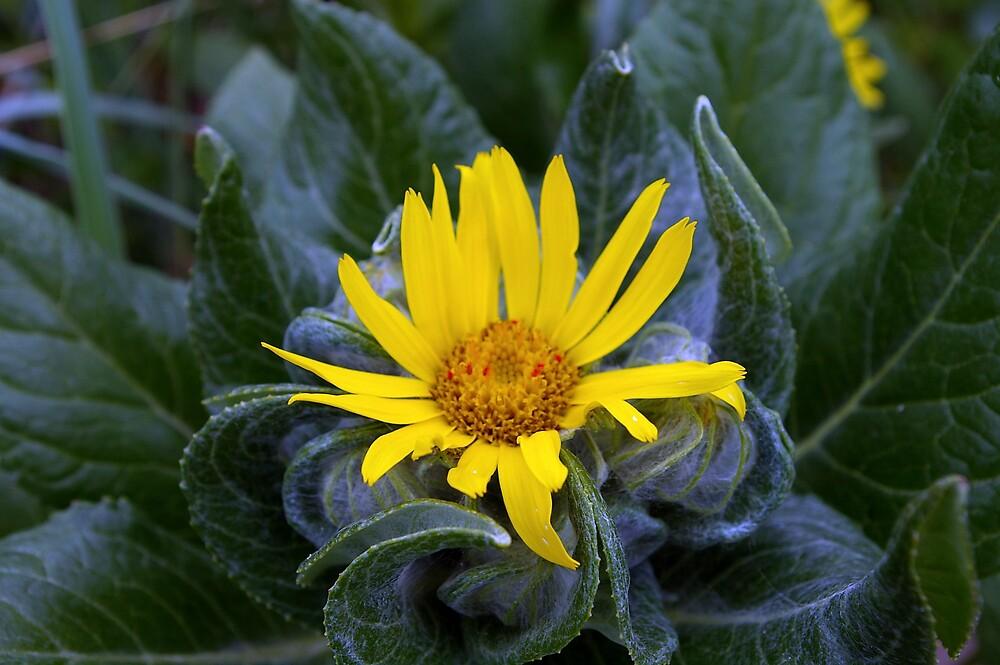Yellow Tundra Flower by Chris Popa