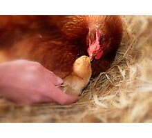 Legal Adoption! - Chickens - NZ Photographic Print