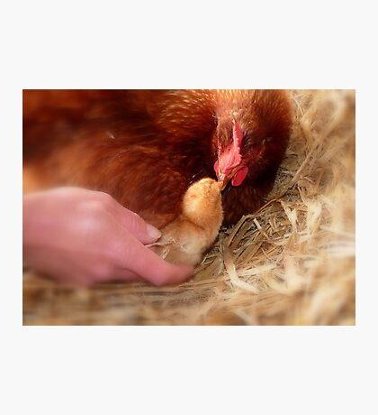 Legal Adoption! - Chickens - NZ Photographic Print