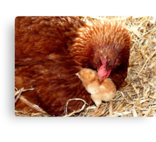 Acceptance! - Chickens - NZ Canvas Print