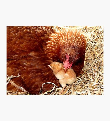 Acceptance! - Chickens - NZ Photographic Print