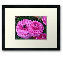 Ranunculus, Toowoomba Garden Qld Australia Framed Print