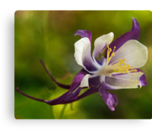 Purple and white aquilegia flower  Canvas Print