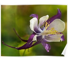 Purple and white aquilegia flower  Poster
