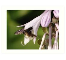 Bumble Bee in Hosta Art Print