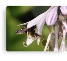 Bumble Bee in Hosta Metal Print