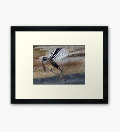 Have You Seen My Fan? - Fantail - NZ Framed Print