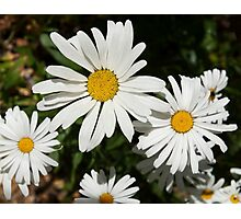 White daisy flower photography Photographic Print