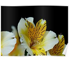 Lily of the Incas - Yellow Alstroemeria - NZ Poster