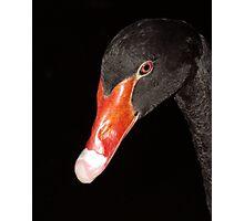 Black Swan. Photographic Print