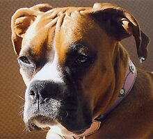 The Distinguished Adult Boxer by Patrick Russo