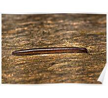 Millipede (Diplopoda) Poster