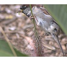 Sparrow nibbling on a grass stalk  Photographic Print