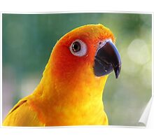 I Might Be Up To Mischief! - Sun Conure NZ Poster