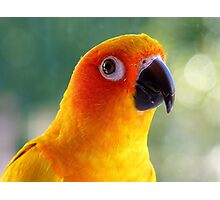 I Might Be Up To Mischief! - Sun Conure NZ Photographic Print