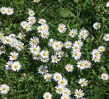 daisy meadow by kveta