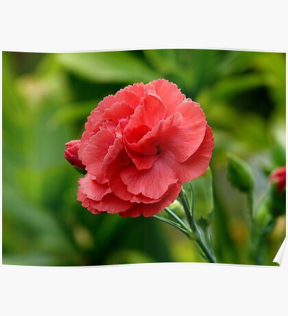 Flower of Love! - Red Carnation - NZ Poster