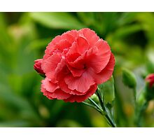 Flower of Love! - Red Carnation - NZ Photographic Print